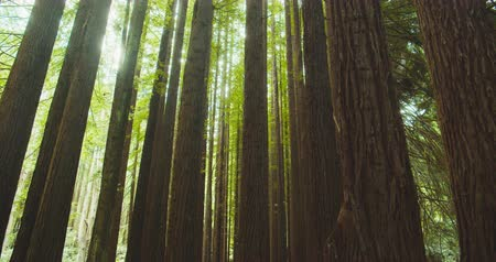 paproć : Californian redwood forest, Otway National Park, Australia Wideo