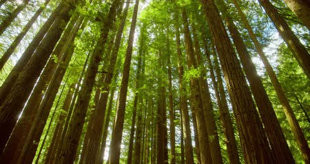 Californian redwood forest, Otway National Park, Australia Wideo