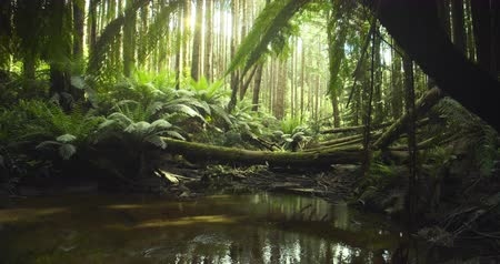Californian redwood forest, Otway National Park, Australia Vídeos