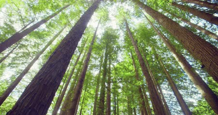 uzun boylu : Californian redwood forest, Otway National Park, Australia Stok Video