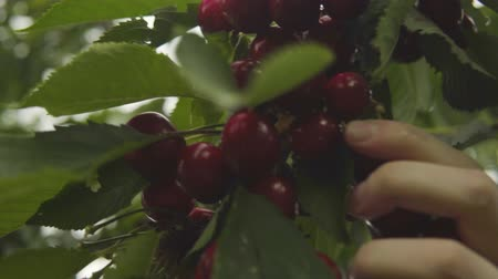 антиоксидант : Womens hands close-up harvest cherries from a tree. Стоковые видеозаписи