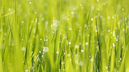 harmatcsepp : Paddy field in the morning with flash light from dewdrop Stock mozgókép