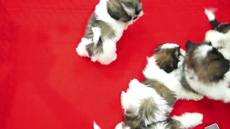 щенок : Cute shih tzu pups playing inside a cage on display for sale red background top view