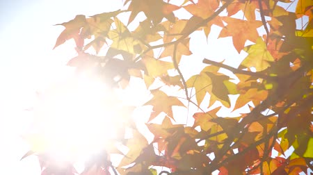 балки : Sun beams shining through the maple leaf, dolly shot
