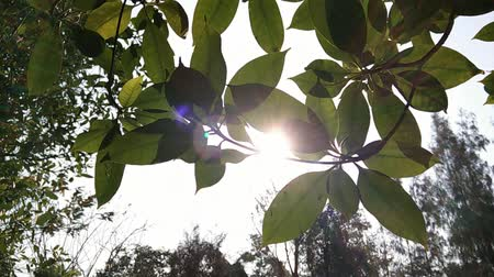 dal : Sunshine light through tree leaf, dolly shot Stok Video