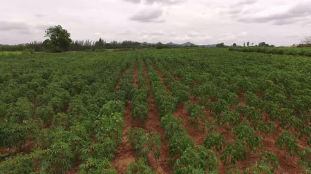çiftlik : Aerial View of cassava farm Stok Video