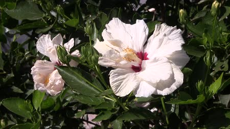 ogród : White hibiscus flower blowing in a light wind.
