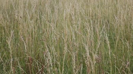 uzun boylu : Tall grass blowing in the wind in a meadow.