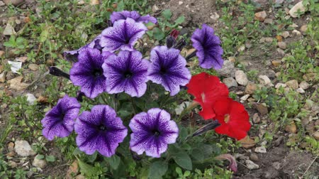 borders : Purple and red Petunias swaying in the breeze