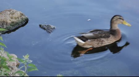 утки : Duck swimming on a river close to a bank. Стоковые видеозаписи