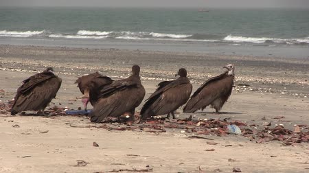 west wing :  Lappet-faced Vulture savaging for food in The Gambia, West Africa. Stock Footage