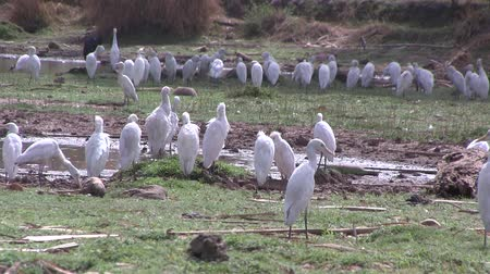 west wing : Cattle Egrets in wetlands in The Gambia, West Africa.