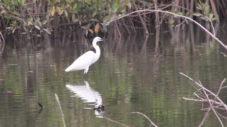 mangue : Great white egret on the mangrove swamp in The Gambia, West Africa. Vídeos