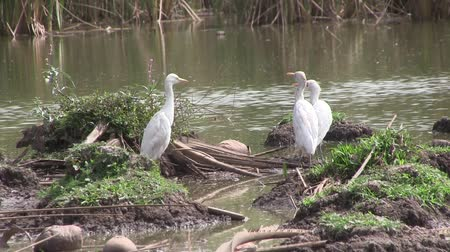 nemes kócsag : Great white egret on the mangrove swamp in The Gambia Stock mozgókép