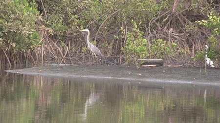 west wing : Grey Heron in the mangrove swamp in The Gambia, West Africa.