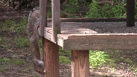белка : Grey squirrel on the side of a bird table. Стоковые видеозаписи