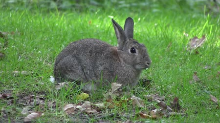 coelho : Rabbit nibbling grass in a wood, in England.   Vídeos