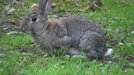 yırtıcı hayvan : Rabbit nibbling grass in a wood, in England.   Stok Video