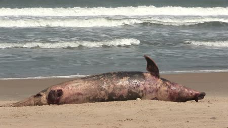 decomposition : The carcass of a dead Dolphin washed up on a beach in The Gambia, West Africa.  Stock Footage