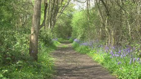 wooden path : Bluebells flowering either side of a woodland path in England