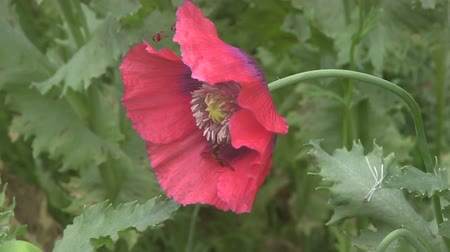 hoverfly : Close up of Hover Flies feeding on wiled poppies in a English meadow.