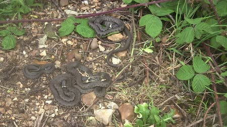 brit : British grass snake slithering in a woodland clearing. Stock mozgókép