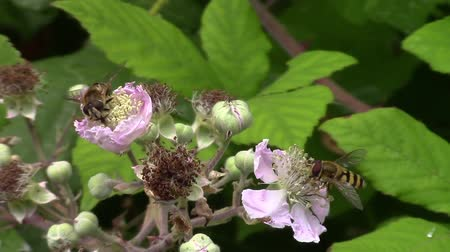 hoverfly : Hover fly feeding on the flowers of a blackberry bush. Video taken in England. Stock Footage