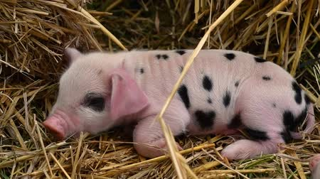 sivilceli : Oxford Sandy Black piglets sleeping. Four day old domestic pigs outdoors, with black spots on pink skin Stok Video