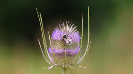 polinização : Teasel (Dipsacus fullonum) being pollinated by bumblebee. Inflorescence of British wildflower in the family Dipsacaceae, with white-tailed bumblebee (Bombus lucorum) feeding