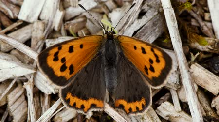 dorsal : Small copper butterfly (Lycaena phlaeas). Small summer generation of butterfly in the family Lycaenidae in a British grassland Stock Footage