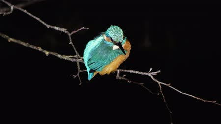 nó : Kingfisher (Alcedo atthis) perched at night. Common kingfisher in the family Alcedinidae at rest on tree on river bank, in profile
