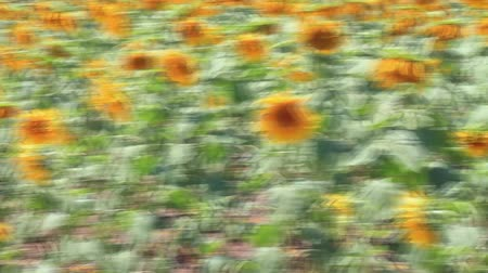 girassóis : Sunflower field in Thrace Region
