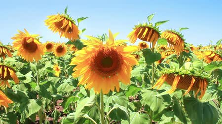 girassóis : Sunflower field in summer