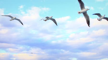 птица : Seagulls following the cruise ship. Ship-following seabirds flying against a beautiful sky  Стоковые видеозаписи