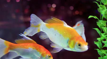 carassius : Goldfish (Carassius auratus) swimming in the aquarium Stock Footage