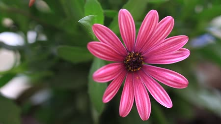 stokrotki : Osteospermum daisy or cape rain daisy Summertime flowers. Pretty pink african daisy in the garden shined at sun Wideo