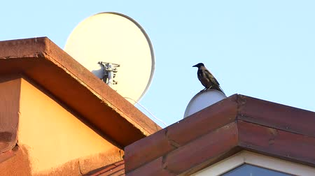 corvus frugilegus : Baby black crow perched on a satellite dish on the rooftop. Rook, Corvus corone Stock Footage