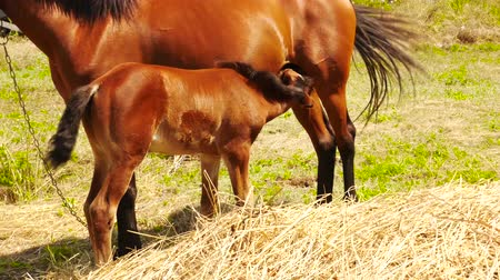 sörény : Grazing of beautiful foal and its mother. Foal suckling his mother grazing. Foal feeding. Close up