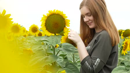 Beautiful girl with red straight hair in khaki sweatshirt tearing petals from sunflower. Portrait of a flirty smiling girl with blue eyes in a sunflower field. Game he loves me, he loves me not