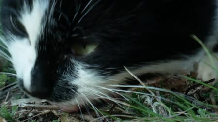 Extreme close-up of hungry stray cat eating chicken bone. Fluffy black cat with white chest and paws eats little bone on green grass. Care for homeless animals concept Dostupné videozáznamy
