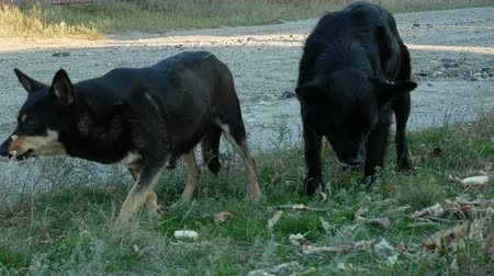 cur : Two black homeless dogs eat bones and leftovers on roadside grass. Concept of help and care about stray animals Stock Footage