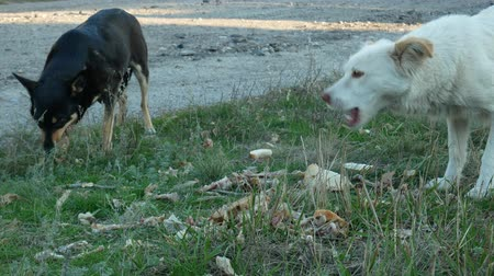 cur : Hungry homeless dogs eat bones and leftovers on roadside grass. Concept of help and care about stray animals