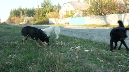 Hungry homeless dogs eat bones and leftovers on roadside grass in a village. Concept of help and care about stray animals