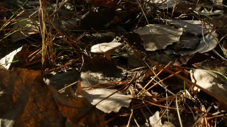 Close-up of mushroom on the background of dry leaves and yellow pine tree needles under sunlight in autumn forest or park. Black fly in the right upper corner