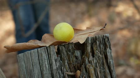 Person walks in the forest and bring down dry oak leaf with gall from tree stump by stick. Close-up Dostupné videozáznamy