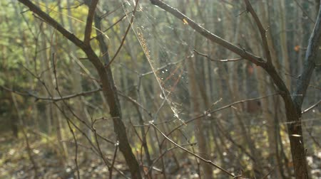 Close-up of spider web glowing in sunlight on the bush branches in the dense forest on a foreground. Quiet autumn outdoor background. Spider web on tree branches and sun reflection. Dostupné videozáznamy