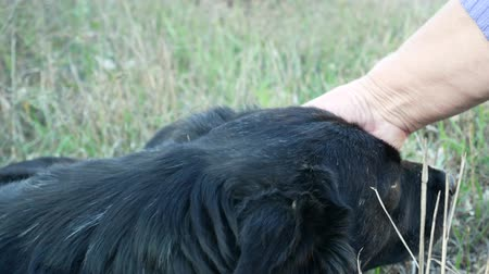 Close-up of female hand stroking the dog head. Senior woman caresses black stray dog outdoors on the green grass background. Autumn sunny day.