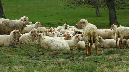 domestic animals : Sheep at meadow, looking and chewing