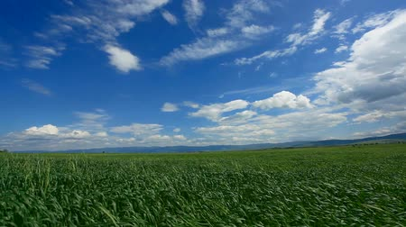 natura : Strong wind blowing at wheat field in spring