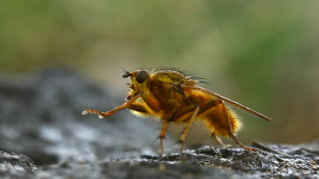 чистый : Extreme macro of a yellow dung fly (Scathophaga stercoraria) cleaning himself then flying away